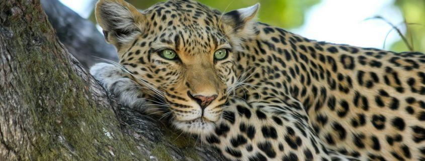 african pure safari